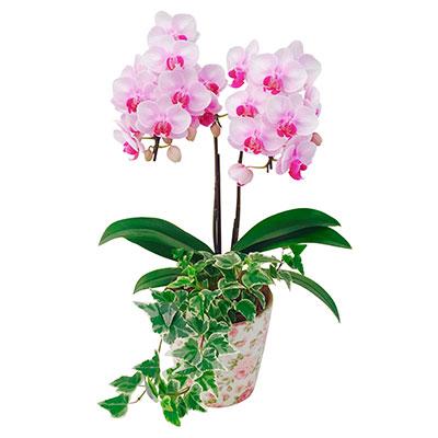 胡蝶蘭花柄鉢4.5号観葉寄せ2F